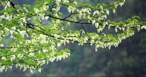 珙桐花朵盛开美景(图据网络)