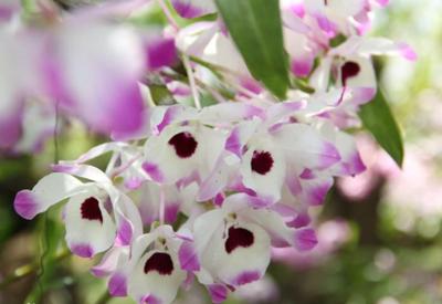 石斛花开美好来